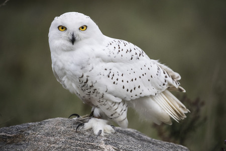 Snowy Owl sitting on a rock