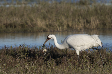Whooping Crane has caught a blue crab Stok Fotoğraf