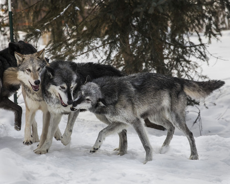 Wolf Pack playing in the snow Stock Photo