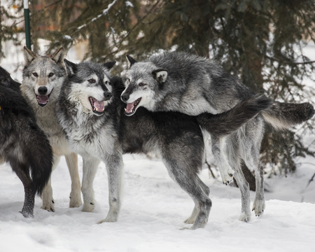 Wolf Pack in the snow Stock Photo