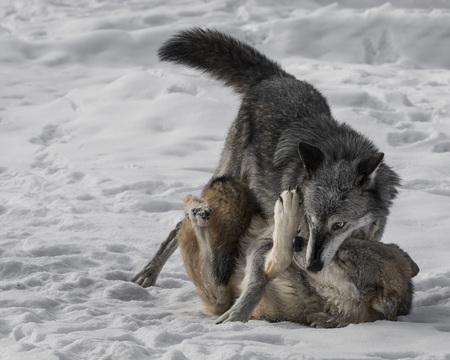 Wolf Pack establishing dominance