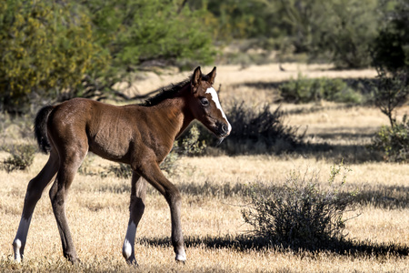 Wild Horse colt walking in the desert 스톡 콘텐츠