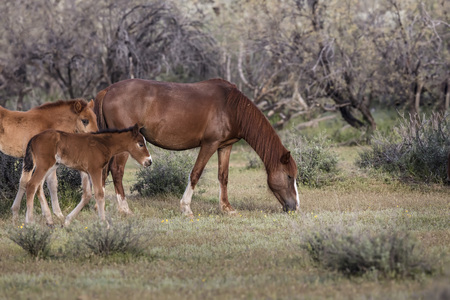 Wild horse family in the desert