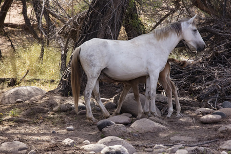 Wild Horse mare and colt; the colt is having lunch 스톡 콘텐츠
