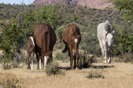 Wild Horses grazing in the desert
