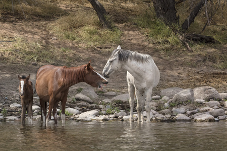 Wild Horses in the river having a discussion
