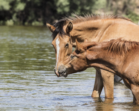 Wild Horses in the river 스톡 콘텐츠