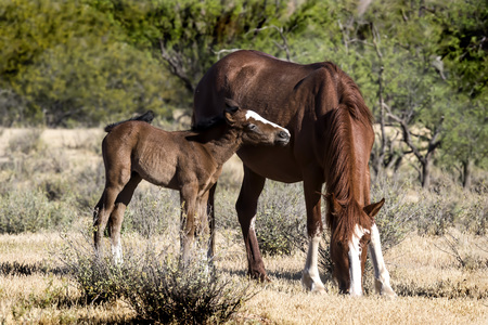 Wild Horse mare and her colt Stock fotó