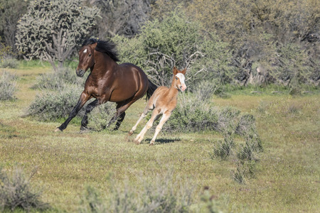 Wild mare and foal running in the desert