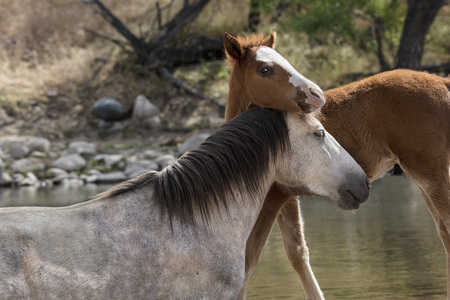 Wild Horse mare and colt