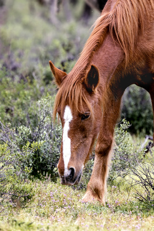 Wild mare head shot close up Reklamní fotografie