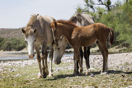 Wild Horse family group