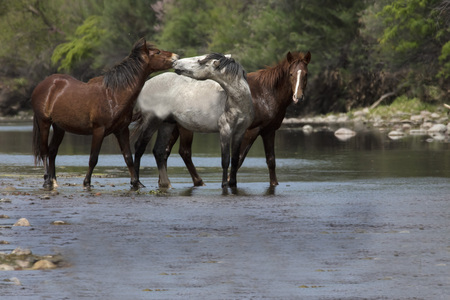 Wild Horses talking to each other in the river