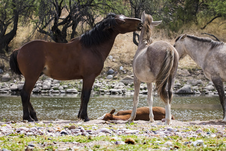 Wild Stallion nipping the yearling on the ear