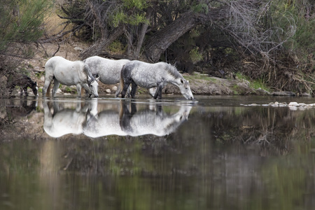 Wild Horses drinking from the river with reflection 스톡 콘텐츠