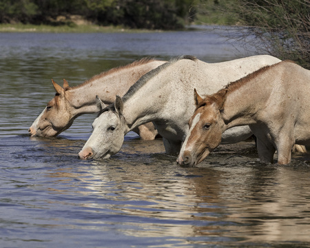 Wild Horses drinking from the river
