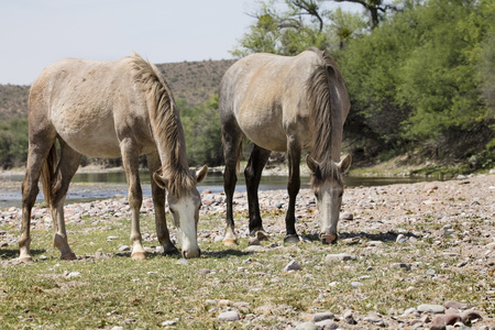Wild Horses grazing along the river