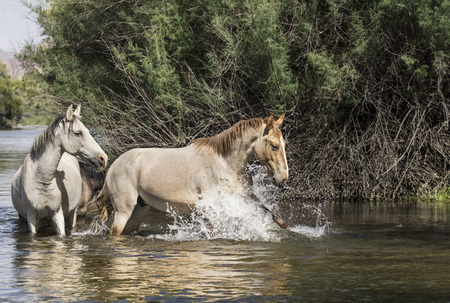 Wild Horses spalshing in the river water