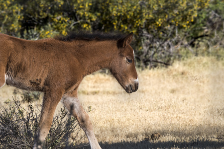 Wild colt in the desert