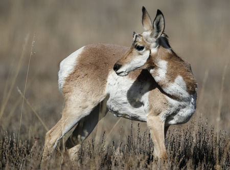 Pronghorn making his way across a meadow