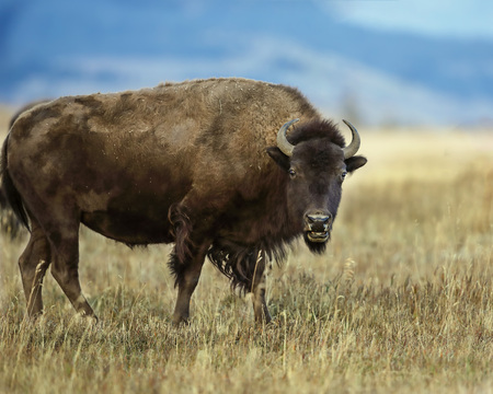 Bison making his way across a meadow