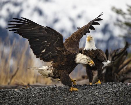 Bald Eagles 版權商用圖片