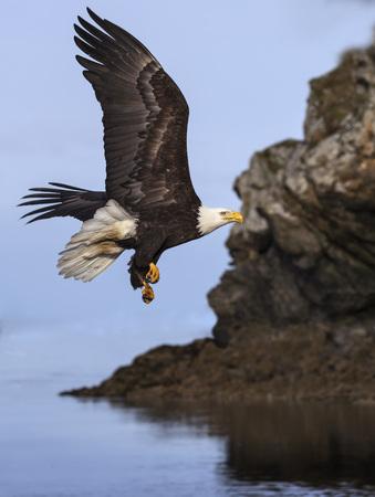Bald Eagles Фото со стока