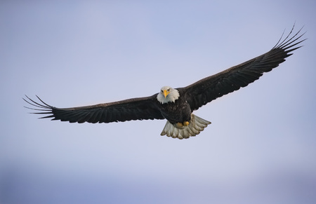 Bald Eagle in water with wings upright 写真素材