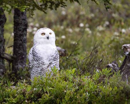 Snowy Owl Imagens