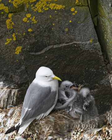 Kittiwake family on a ledge