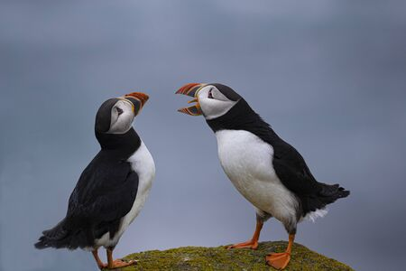 Puffins Imagens - 129459741