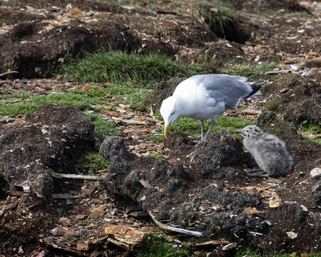 Sea Gull mom and chick