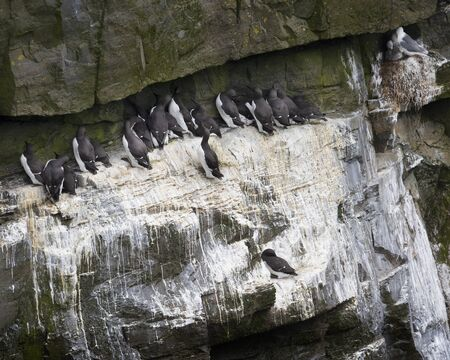 Murres Stock Photo