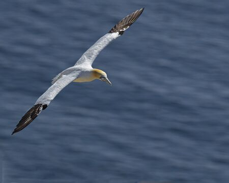 Gannets Stock Photo