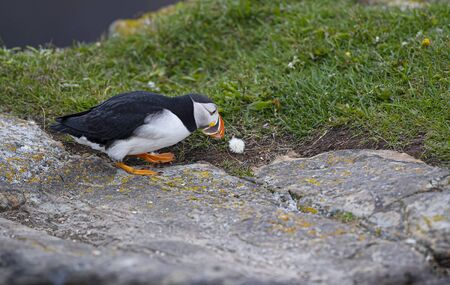 Puffin going after a dandelion