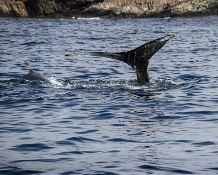 humpback whale playing in Bay Bulls Newfoundland