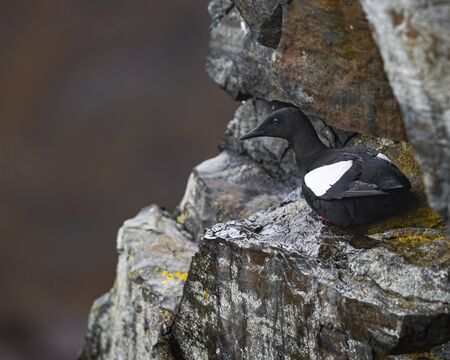 Guillemot sitting on a rocky ledge