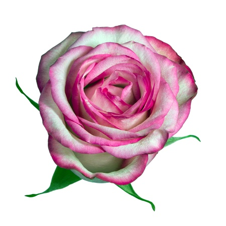 Rose on the white background (isolated) Stock Photo