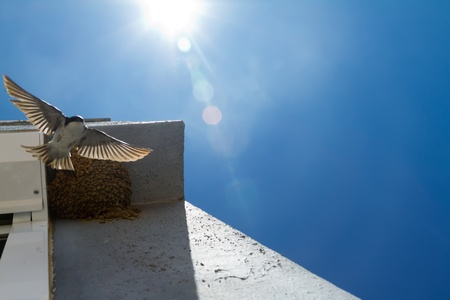 Swallow flew from the nest in the rays of bright sunshine photo