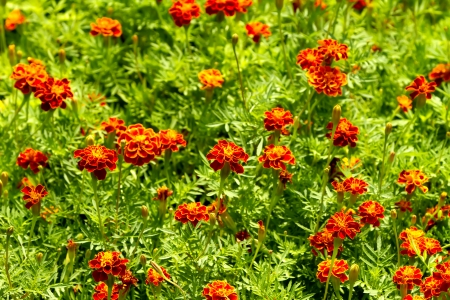 A flower bed of beautiful orange flowers Stock Photo