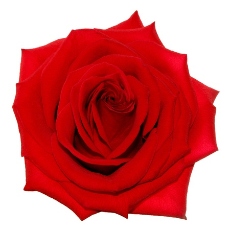 Red rose on the white background  isolated