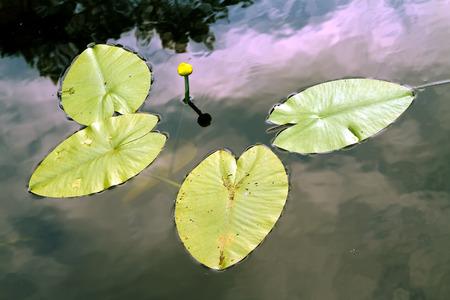 nenuphar, water lily, spatter-dock