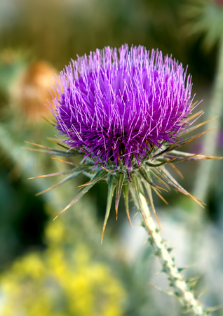 Thistle is the common name of a group of flowering plants characterised by leaves with sharp prickles on the margins, mostly in the family Asteraceae. Thistle is the floral emblem of Scotland and Lorraine, as well as the emblem of the Encyclopædia Britannica.