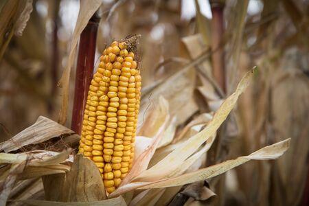 planta de maiz: The fruit of corn before harvest
