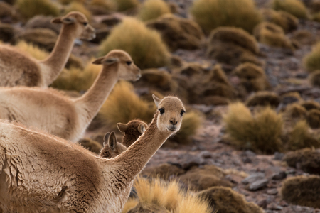 the vicunas live in the Andes only over 4000 meters. You can not tame and the wool can not be shorn Stok Fotoğraf