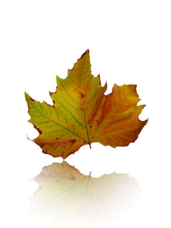 colorful autumn leaf on white Stock Photo - 3921213