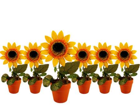sunflowers row on white background photo