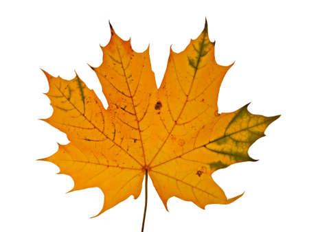 autumnal maple leaf isolated on white background Stock Photo - 5511815