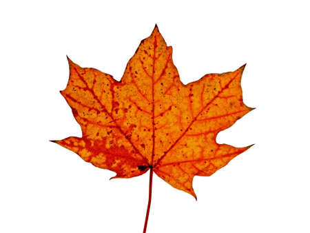 autumnal red maple leaf isolated on white background Stock Photo - 5511818