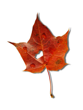 red autumnal maple leaf on white background Stock Photo - 5709666